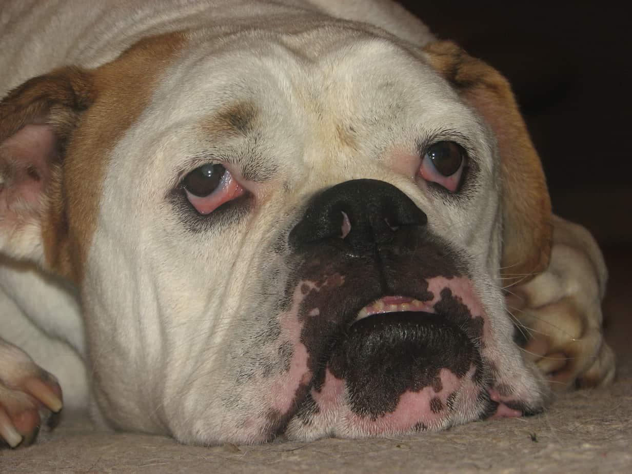 ... Dooley Pierce – August 15, 2010   Georgia English Bulldog Rescue