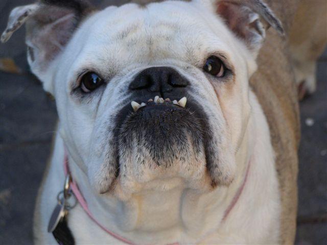 Shelby – Adoption Pending | Georgia English Bulldog Rescue